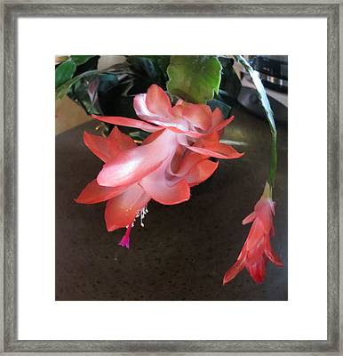 Christmas Cactus Bloom Framed Print by Fortunate Findings Shirley Dickerson