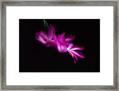 Framed Print featuring the photograph Christmas Cactus Blossom by Bill Swartwout