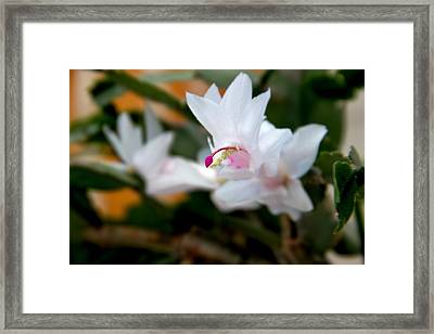 Christmas Cactus Flower Framed Print by Marv Russell