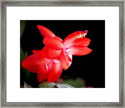 Christmas Cactus Flower Framed Print by Rona Black