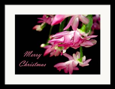 Schlumbergera Bridgesii Framed Prints