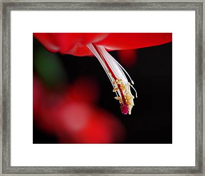 Christmas Cactus Pistil And Stamens Framed Print by Rona Black