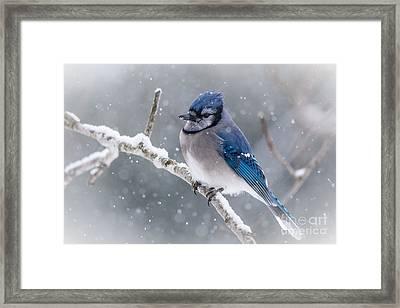 Christmas Card Bluejay Framed Print