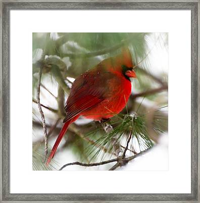 Christmas Cardinal Framed Print by Kerri Farley