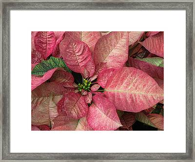 Framed Print featuring the photograph Christmas Flower by Tammy Espino