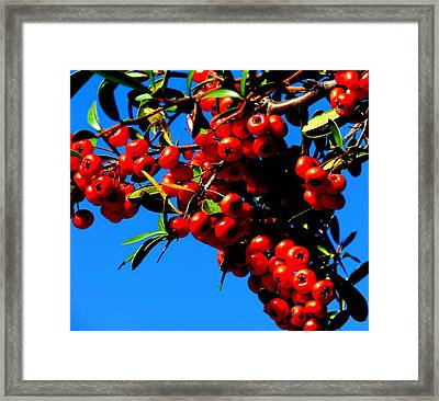 Framed Print featuring the photograph Christmas Holly In Texas by David  Norman
