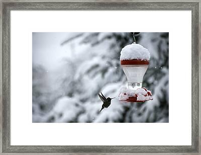 Christmas Hummingbird Framed Print