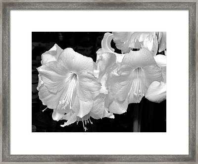 Christmas Lilies. Framed Print