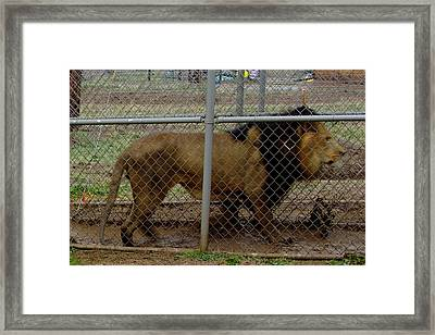 Christmas Lion Framed Print