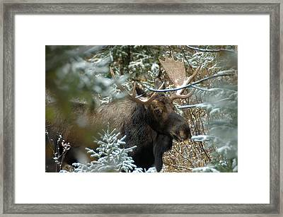 Christmas Moose Framed Print