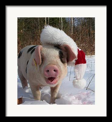 Farm Raised Pigs Photographs Framed Prints