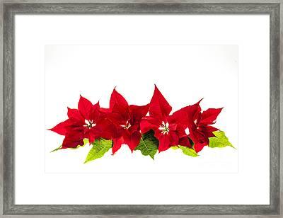 Christmas Poinsettias Framed Print by Elena Elisseeva