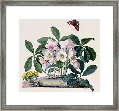 Christmas Rose Framed Print by Georg Dionysius Ehret