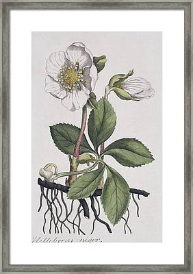 Christmas Rose, Historical Artwork Framed Print by Science Photo Library