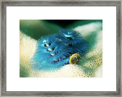 Christmas Tree Worm Framed Print by Louise Murray