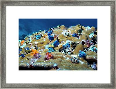 Christmas Tree Worms On Coral Framed Print