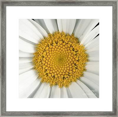 Chrysanthemum Closeup Framed Print