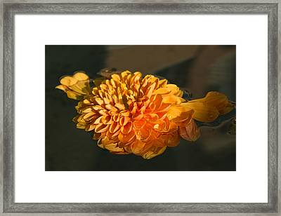 Chrysanthemum Gently Floating In The Fountain Of Campo De Fiori - Rome - Italy Framed Print