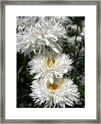 Framed Print featuring the photograph Chrysanthemum Named Crazy Daisy by J McCombie