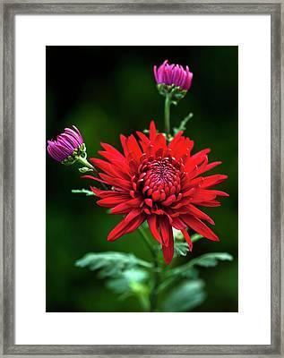Chrysanthemum 'red Mist' Framed Print