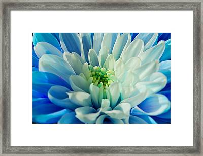 Chrysanthemum Framed Print by Scott Carruthers