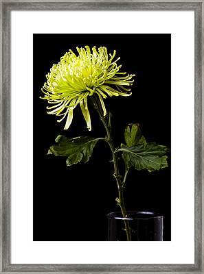 Framed Print featuring the photograph Chrysanthemum by Sennie Pierson