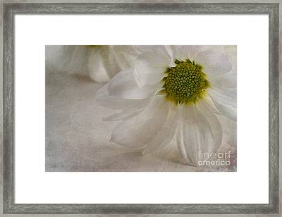 Chrysanthemum Textures Framed Print by John Edwards