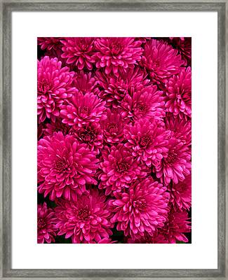 Chrysantheumums Framed Print