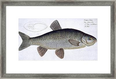 Chub Framed Print by Andreas Ludwig Kruger