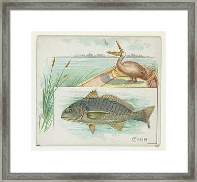 Chub, From Fish From American Waters Framed Print