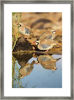 Chukar Partridge Alectoris Chukar Framed Print by Photostock-israel