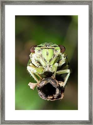 Cicada Framed Print by Dr Morley Read