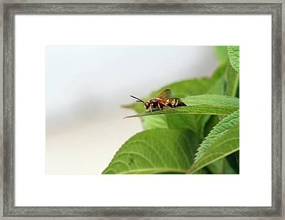 Cicada Killer Framed Print
