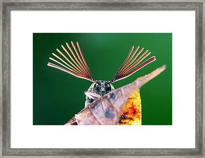 Cicada Parasite Beetle Framed Print by Melvyn Yeo