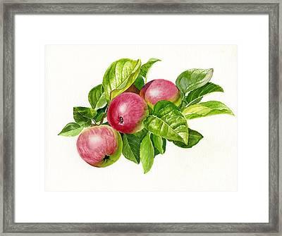Cider Apples With White Background Framed Print