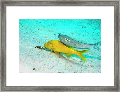 Cigar Wrasse And Yellowsaddle Goatfish Framed Print by Georgette Douwma