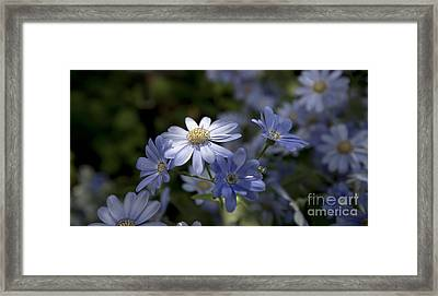 Cineraria  1217 Framed Print by Terri Winkler