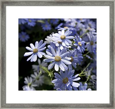 Cineraria 1225 Framed Print by Terri Winkler