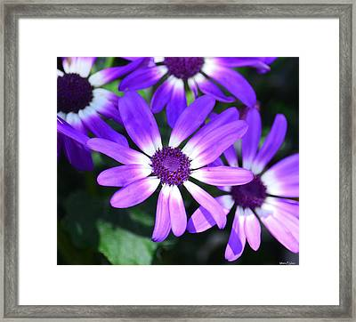 Cineraria Framed Print by Maria Urso