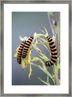 Cinnabar Moth Caterpillars Framed Print by Colin Varndell