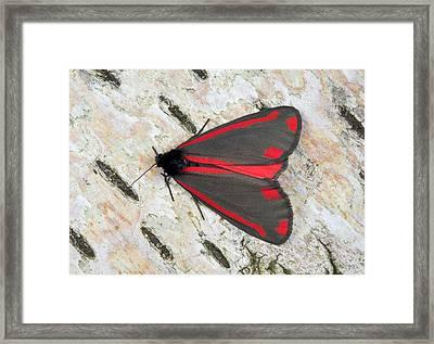Cinnabar Moth Framed Print