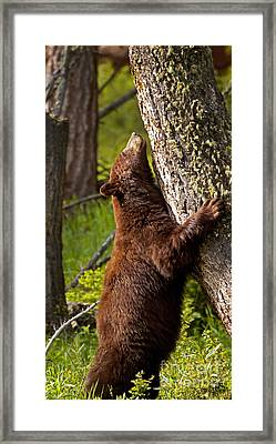 Framed Print featuring the photograph Cinnamon Boar Black Bear by J L Woody Wooden