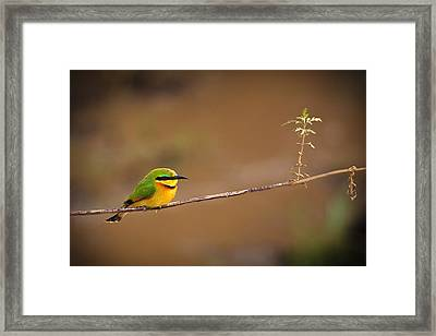 Cinnamon-chested Bee-eater Framed Print by Adam Romanowicz