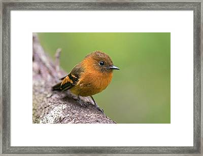 Cinnamon Flycatcher Framed Print by Juan Jose Arango