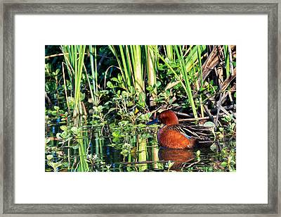 Cinnamon Teal And Dragonfly Framed Print