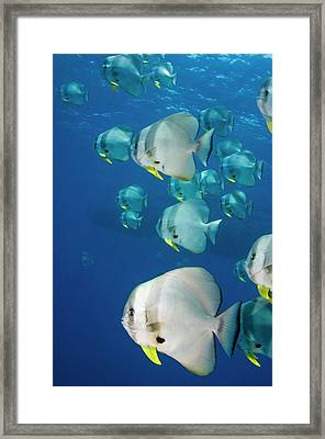 Circular Spadefish Over A Reef Framed Print by Georgette Douwma
