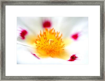Cistus Framed Print by Rebeka Dove