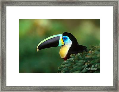 Citron-throated Toucan Framed Print by Art Wolfe