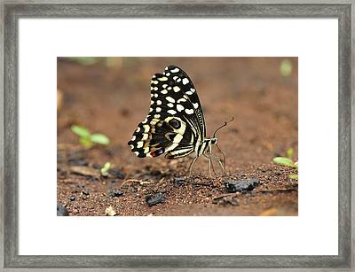 Citrus Butterfly Puddling Jozani Framed Print by Thomas Marent