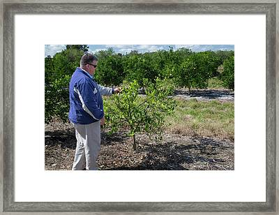 Citrus Farming Framed Print
